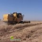 موسم الحصاد یبدء في بعض مناطق الحمیدیة بالرغم من أزمة السیول
